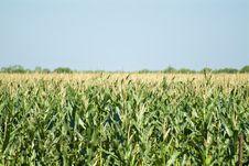 Free Corn Field Stock Photo - 5279300