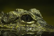 Free Eye Of The Crocodile Stock Photography - 5279342