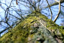 Free Oak Tree Stem Royalty Free Stock Image - 52716186