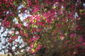 Free Pink  Flowers  Bokeh Background Stock Photography - 52790502