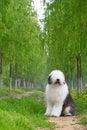 Free English Old Sheepdog Royalty Free Stock Photos - 5280498