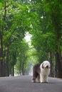 Free English Old Sheepdog Royalty Free Stock Photos - 5280578