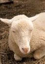 Free Lamb Stock Image - 5281661