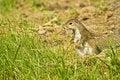 Free Squirl Standing Stock Photo - 5283480
