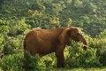 Free Old Female Elephant Stock Photos - 5284613