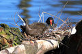 Free Moorhen On Nest Stock Image - 5285291