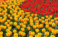Free Red And Yellow Tulips Stock Photography - 5287262