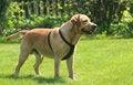 Free Labrador Retriever Royalty Free Stock Photography - 5288347