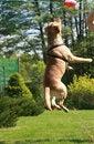 Free Labrador Retriever Royalty Free Stock Photo - 5288365