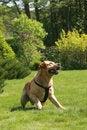 Free Labrador Retriever Royalty Free Stock Photography - 5288387