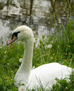 Free Swan Royalty Free Stock Photos - 5289538