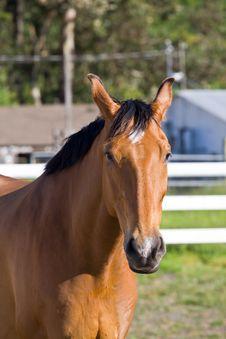 Free Chestnut Horse Stock Photos - 5280273
