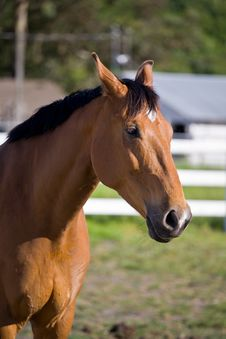 Free Chestnut Horse Stock Images - 5280324
