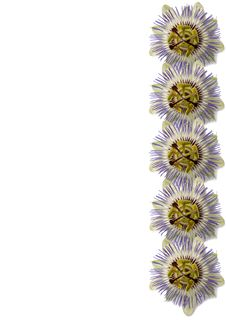Free Passion Flower Royalty Free Stock Photo - 5280345