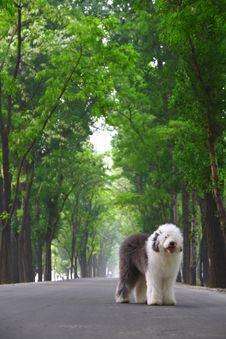 Free English Old Sheepdog Royalty Free Stock Photos - 5280578