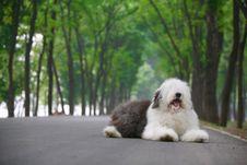 Free English Old Sheepdog Stock Images - 5280634