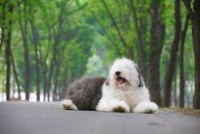 Free English Old Sheepdog Stock Photography - 5280652