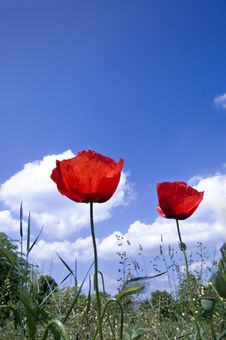 Poppies With Blue Sky Stock Image