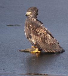 Free Sea-eagle 1 Stock Photo - 5280730