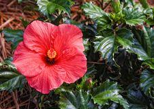 Free Hibiscus Stock Image - 5280931