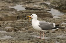 Free Seagull Eating A Mussel Royalty Free Stock Photos - 5283068
