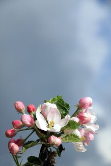 Free Apple Blossom Against Dark Sky Stock Image - 5283351