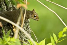 Free Squirl In A Tree Stock Image - 5283491