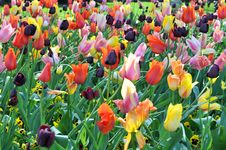 Free Tulip Garden Royalty Free Stock Photo - 5283835
