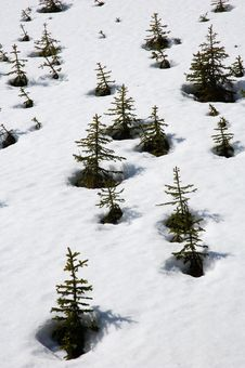 Free Pine Trees On The Snow Stock Photography - 5284412