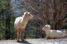 Free Mountain Goats Royalty Free Stock Photos - 5284418