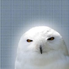 Free White Snowy Owl Royalty Free Stock Images - 5284479