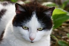 Free Cat White And Black Royalty Free Stock Photos - 5284728