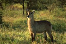 Free Female Waterbuck Royalty Free Stock Images - 5284849