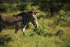 Free Zebra Walking Through The Grass Royalty Free Stock Image - 5284936
