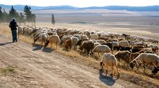 Free Sheep Stock Photos - 5285083