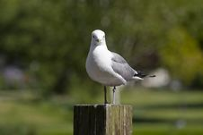 Free Sitting Gull Royalty Free Stock Photography - 5285097