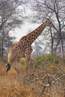 Free A Giraffe Walks Through The Bushveld Stock Image - 5285151
