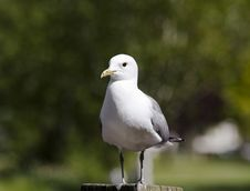 Free Sitting Gull Stock Images - 5285154