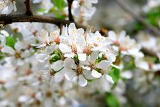 Free Cherry Blooms Royalty Free Stock Photo - 5285215
