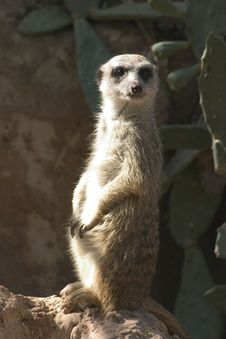 Free Suricata Royalty Free Stock Photos - 5285318
