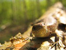 Free Pregrant Lizard Stock Photo - 5285360