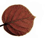 Free Transparent Leaf Of A Kiwi Royalty Free Stock Image - 5285556