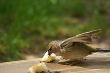 Free White Throated Sparrow Eating Bread Royalty Free Stock Images - 5285559