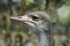 Free Ostrich Stock Photos - 5285673