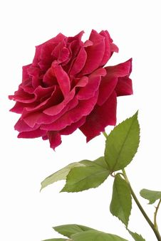 Free Beautiful Red Rose Royalty Free Stock Photography - 5285907
