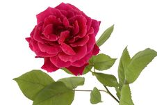 Free Beautiful Red Rose Royalty Free Stock Images - 5285929