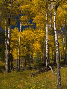 Free Into The Aspens Stock Photo - 5286440