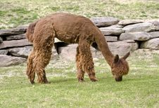 Free Alpaca Stock Photos - 5286503