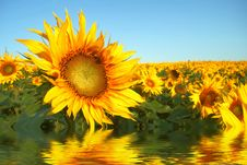 Free Yellow Field Stock Photos - 5286773