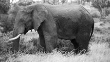 Free Black And White Elephant Stock Photography - 5286842